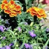 Temperatura para o plantio de flores