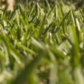 Tipos de grama texas