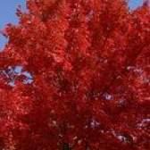 Os melhores de rápido crescimento árvores de sombra na zona 9