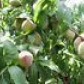 A melhor árvore de fruta a crescer em atlanta