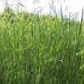 Quando remover ervas daninhas e alimentar a grama?