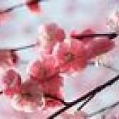 O cuidado da árvore de cereja de florescência japonesa