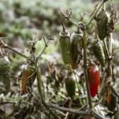 A definição de necrose em plantas