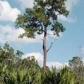 As diferenças entre palmeiras e árvores de palmito