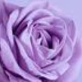 Nomes de rosas da alfazema