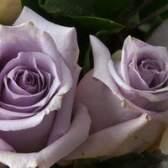 Os tipos de rosas roxas