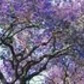 Árvores com flores roxas em forma de sino