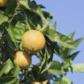 Tipos de laranjas texas