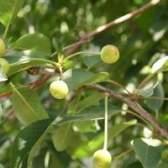 Quais são os pontos pretos nas folhas da árvore de cereja?
