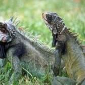 O que iguanas comem na natureza?