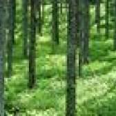 O que come pinheiros?