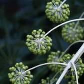 O que é uma planta aralia?