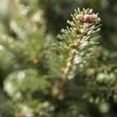 Qual é a diferença entre uma árvore de abeto e uma cicuta?