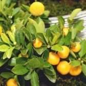 O que fazer com árvores cítricas com folhas amarelas