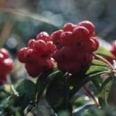 O que as árvores têm bagas vermelhas no verão?