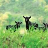 O que as ervas daninhas não cabras comem?