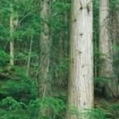 O que fará com que uma árvore de cedro para morrer?