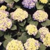 Que as flores crescem bem em uma exposição oriental?