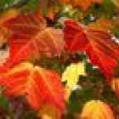 Que as árvores têm folhas vermelhas no outono?