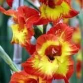 Quando as flores do tipo de flor florescer?