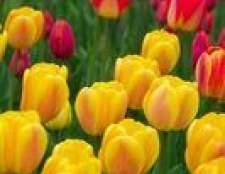 Uma lista de pleno sol flores perenes na zona 4