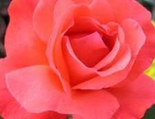 Uma lista das rosas mais perfumadas
