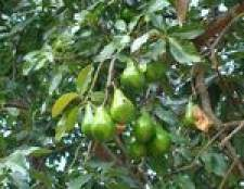 Folhas pretas nas árvores de abacate