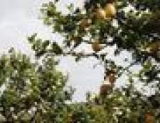 Erros estão comendo minhas folhas da árvore de limão