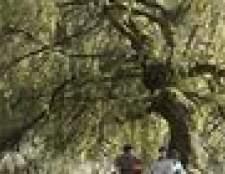 Insetos que comem as folhas da árvore