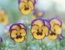 Cuidados de uma planta viola