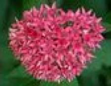 Cuidados de flores penta