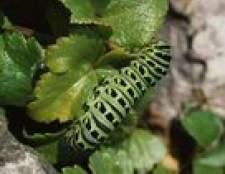 Caterpillar infestação árvore