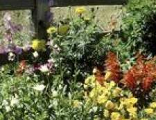 Plantas do companheiro para margaridas de shasta