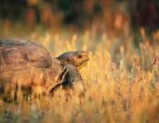 Lista de alimentos tartaruga de deserto