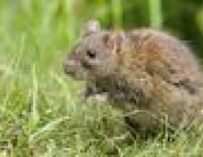 Não ratos cavar buracos no chão?