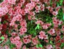 Arbustos evergreen floração para a zona 9 em florida