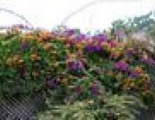 Floração vinha na zona 7