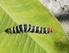Pragas do jardim: lagartas pretas com listras brancas e vermelhas