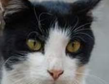 Como você pode dizer se seu gato tem uma infecção urinária?