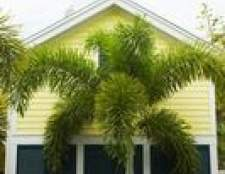 Como perto de plantar árvores foxtail palma