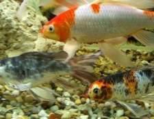 Como você dizer se um peixe é macho ou fêmea?