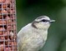 Como atrair pássaros para alimentadores