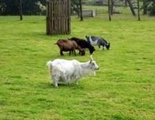 Como assar com leite de cabra