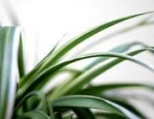 Como cuidar de uma planta de aranha com folhas amarelas