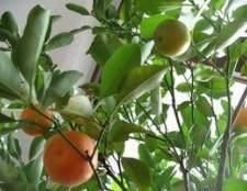 Como cuidar de uma árvore de laranja Valência
