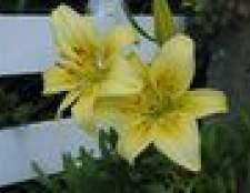 Como cuidar de plantas de lírio ao ar livre