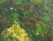 Como classificar algas