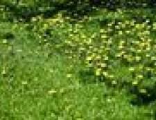 Como controlar ervas daninhas do gramado no início da primavera