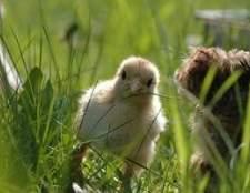 Como cruzar galinhas silkie brancos e negros