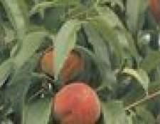 Como anão uma árvore de fruta
